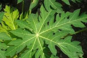 Manfaat jus daun pepaya bagi kesehatan