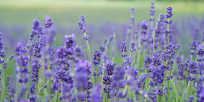 usir kalajengking dan ketonggeng dengan cara alami memakai tanaman lavender